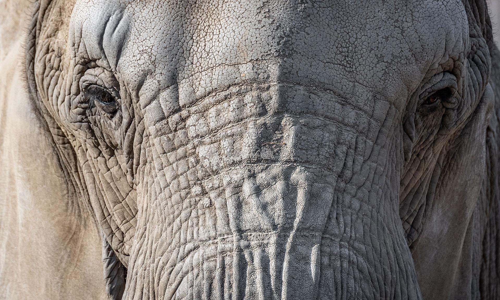 elephant eyes portrait