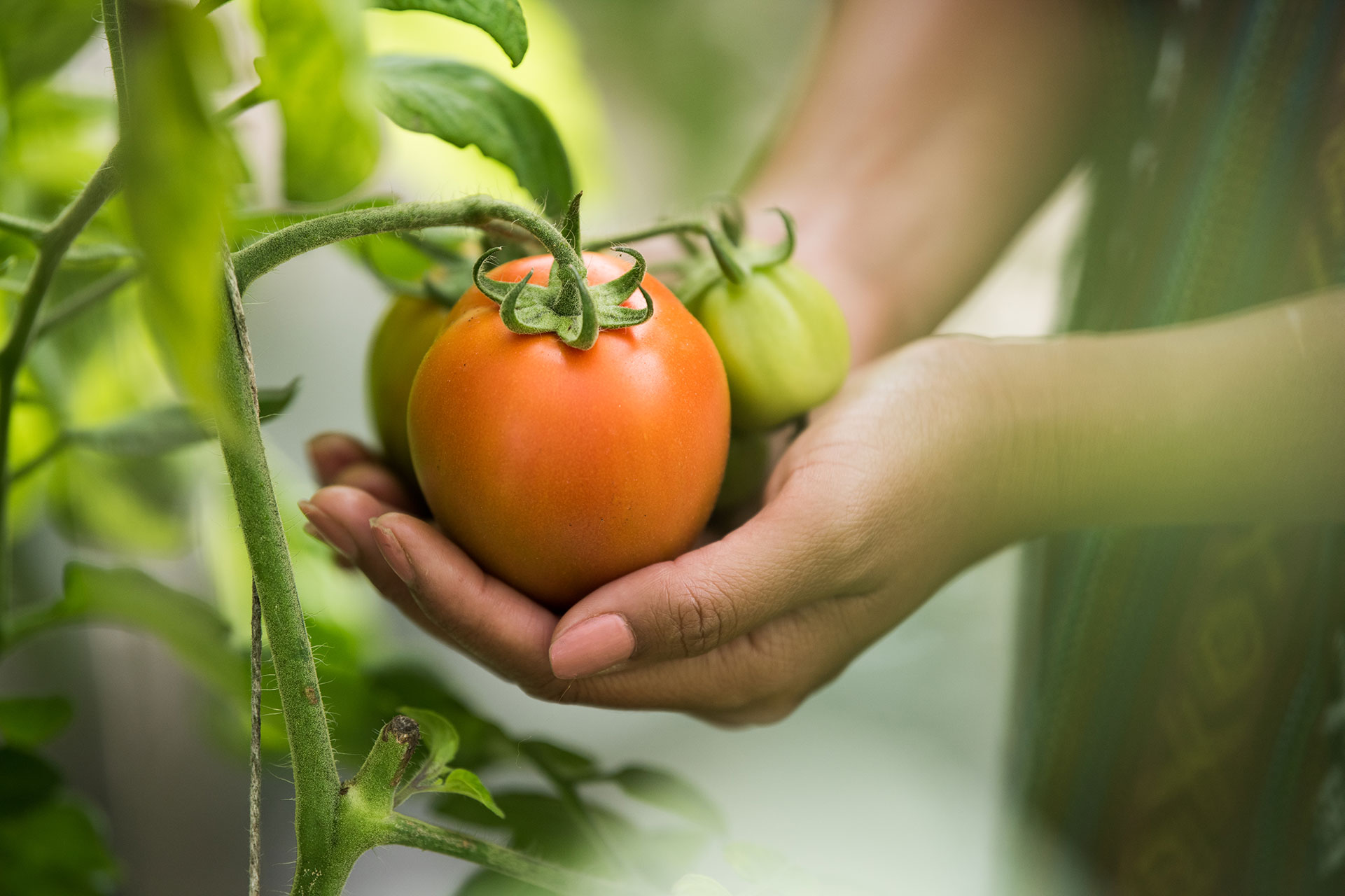 woman holding organically grown tomato on the vine