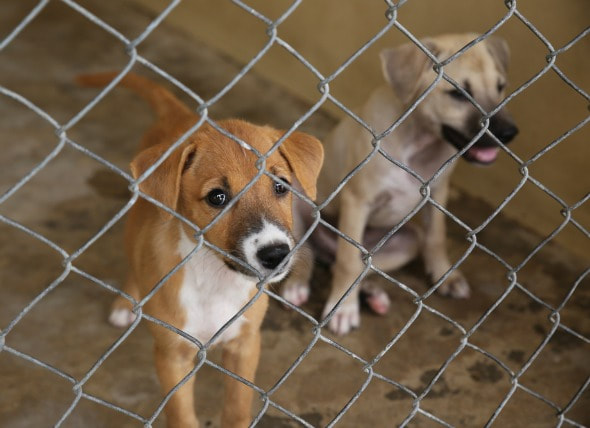 The Pandemic Puppy: What Adoption Trends in the Era of Coronavirus Tell Us About Animal Adoption