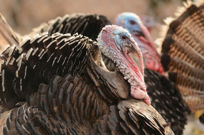 The Life of a Thanksgiving Turkey