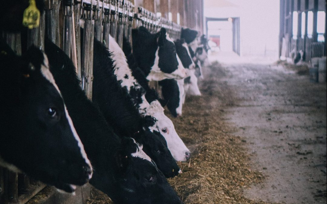 The Dairy Industry: A Shocking Look Behind-the-Scenes